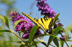 Western Tiger Swallowtail Papilio rutulus Butterfly on Butterfly Bush. Western Swallowtail papilio rutulus butterfly on butterfly bush royalty free stock photos