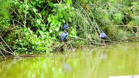 Western swamphen. At the border of the water whit Western swamphen stock video