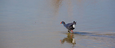 Western Swamphen crossing a shallow lagoon. Royalty Free Stock Photography