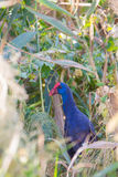 Western Swamphen in dense vegetation. A Western Swamphen (Porphyrio porphyrio) hiding in the thicket Royalty Free Stock Images