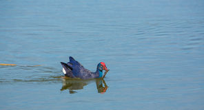 Western Swamphen with fish. A Western Swamphen (Porphyrio Porphyrio) carrying a fish Royalty Free Stock Photography