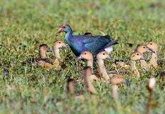 The western swamphen Porphyrio porphyrio and The lesser whistling duck Dendrocygna javanica. Together on the ground Royalty Free Stock Photos
