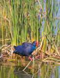 Western Swamphen Stock Photography