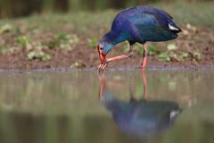 Purple Swamphen. The western swamphen is a swamphen in the rail family Rallidae, one of the six species of purple swamphen. From the French name talève sultane Stock Photos