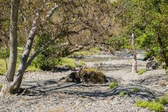 Western Sycamore trees on the shoreline of a creek, Sunol Regional Wilderness, San Francisco bay, California stock photos