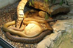Western Taipan - World S Most Venomous Snake Royalty Free Stock Photos