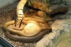 Western Taipan - World's most venomous snake Royalty Free Stock Photos