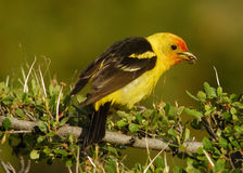 Western Tanager. An early morning snack for this early bird stock image