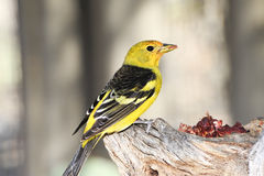 Western Tanager Royalty Free Stock Images