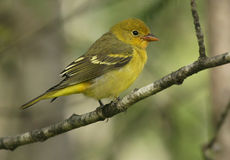 Western Tanager Royalty Free Stock Photo