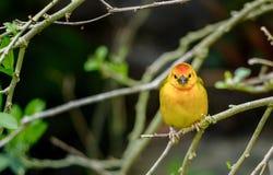Western Tanager bird Stock Photography