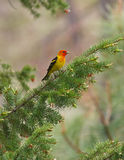 Western tanager on branch. Male western tanager perched on fir branch displaying colors Stock Photography