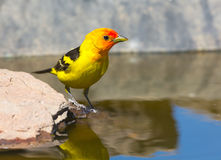 Western Tanager Royalty Free Stock Photography