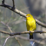 Western Tanager Stock Photo