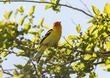 Western Tanager Male, Piranga ludoviciana Royalty Free Stock Photography