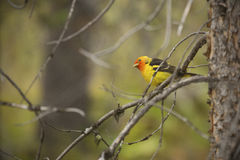 Western tanager perched in branches, Teton National Park, Wyomin Stock Photos