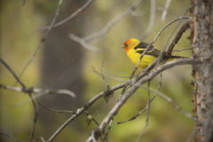 Western tanager perched on branches, Teton National Park, Wyomin Royalty Free Stock Photography
