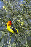 Western Tanager, Piranga ludoviciana Stock Photo