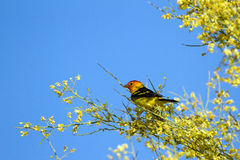 Western Tanager, Piranga ludoviciana Stock Photography