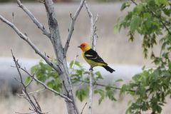 Western tanager Piranga ludoviciana 2. A male Western tanager Piranga ludoviciana perched on a branch in Idaho Stock Images