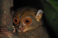 Western Tarsier Stock Photography