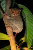 Western Tarsier Royalty Free Stock Photo