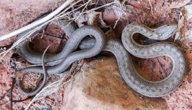 Western Terrestrial Garter Snake - Thamnophis elegans Royalty Free Stock Photo