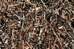 Western Thatching Ants Stock Photo