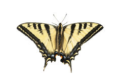 Western Tiger Swallowtail. Closeup of a Western Tiger Swallowtail butterfly with it's wings spread open stock photography