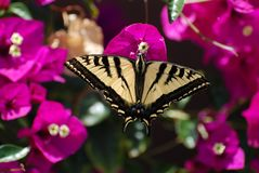 Western Tiger Swallowtail Butterfly. Feeding on a blossom stock photo