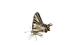 Western Tiger Swallowtail butterfly. On decking royalty free stock photos