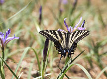 Western Tiger Swallowtail Butterfly. Feeding on wild Iris flower. Papilio rutulus, the western tiger swallowtail, is a common swallowtail butterfly of western stock images