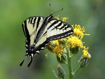 Western Tiger Swallowtail on Yellow Flowers. A Western Tiger Swallowtail butterfly feeding on yellow flowers stock images