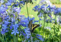 Free Western Tiger Swallowtail Butterfly Resting On A Agapanthus `Peter Pan` African Lily. Royalty Free Stock Photos - 196458528