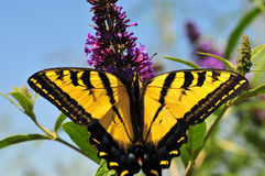 Western Tiger Swallowtail Butterfly Wings. Yellow Western Tiger Swallowtail (Papilio rutulus) butterfly on butterfly bush (buddleia) in Ramona, San Diego County Royalty Free Stock Photography