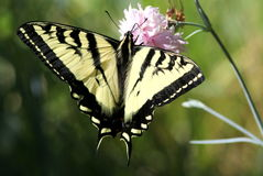 Western Tiger Swallowtail on Carnation Royalty Free Stock Photography