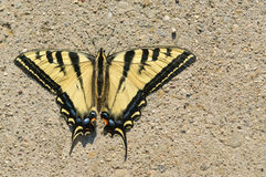 Western Tiger Swallowtail. Closeup of a Western Tiger Swallowtail butterfly with it's wings spread open stock photos