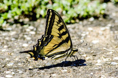 Western Tiger Swallowtail. A Western Tiger Swallowtail drinks moisture out of the ground stock photo