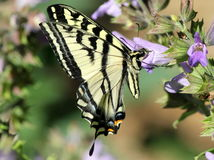 Western Tiger Swallowtail Feeding. A Western Tiger Swallowtail butterfly feeding on a flower stock image