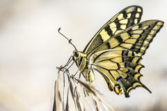 Western Tiger Swallowtail (Papilio rutulus). Swallowtail butterflies are large, colorful butterflies in the family Papilionidae, which includes over 550 species royalty free stock images