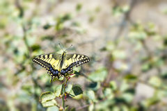 Western Tiger Swallowtail (Papilio rutulus) Stock Images