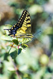 Western Tiger Swallowtail (Papilio rutulus). Swallowtail butterflies are large, colorful butterflies in the family Papilionidae, which includes over 550 species royalty free stock photos