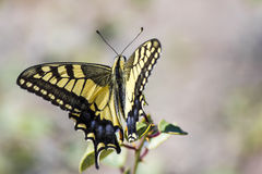 Western Tiger Swallowtail (Papilio rutulus). Swallowtail butterflies are large, colorful butterflies in the family Papilionidae, which includes over 550 species stock photo