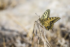 Western Tiger Swallowtail (Papilio rutulus) Royalty Free Stock Photography
