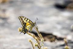 Western Tiger Swallowtail (Papilio rutulus) Royalty Free Stock Image