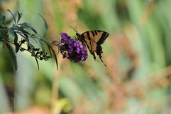 Western Tiger Swallowtail Papilio rutulus Butterfly on Butterfly Bush. Buddleja davidii `Black Knight`, native to California Royalty Free Stock Photo