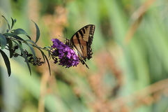 Western Tiger Swallowtail Papilio rutulus Butterfly on Butterfly Bush. Buddleja davidii `Black Knight`, native to California Stock Photography
