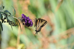 Western Tiger Swallowtail Papilio rutulus Butterfly on Butterfly Bush. Buddleja davidii `Black Knight`, native to California Stock Photos