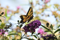 Western Tiger Swallowtail Papilio rutulus Butterfly on Butterfly Bush. Buddleja davidii `Black Knight`, native to California Royalty Free Stock Photography