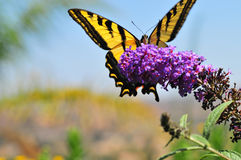 Western Tiger Swallowtail Papilio rutulus Butterfly on Butterfly Bush. Close up of Western Tiger Swallowtail Papilio rutulus Butterfly on Butterfly Bush in royalty free stock photo